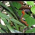 橙帶藍尺蛾 Milionia basalis_08.jpg
