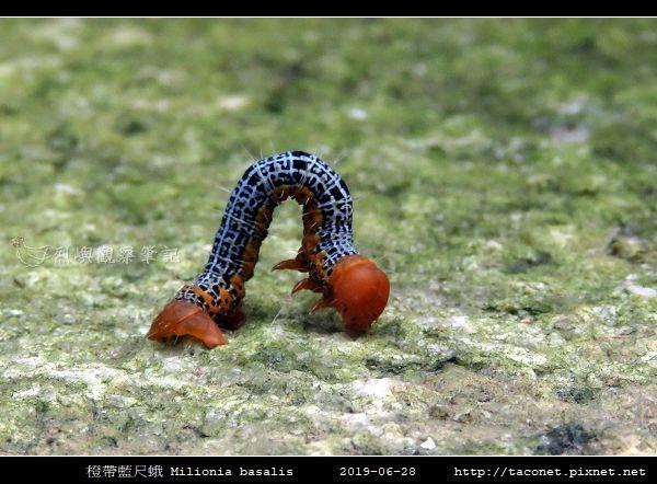 橙帶藍尺蛾 Milionia basalis_09.jpg