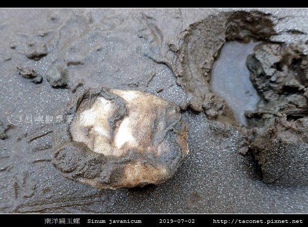 南洋扁玉螺  Sinum javanicum_02.jpg