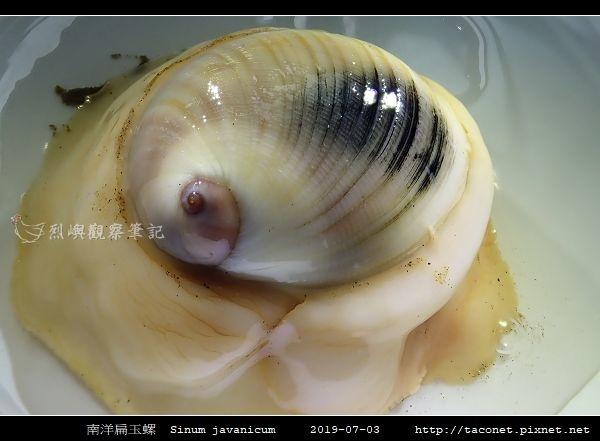 南洋扁玉螺  Sinum javanicum_04.jpg