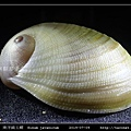南洋扁玉螺  Sinum javanicum_07.jpg
