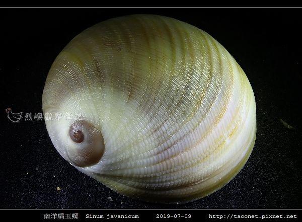 南洋扁玉螺  Sinum javanicum_08.jpg