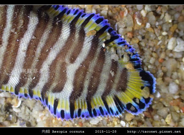 角鰨 Aesopia cornuta_2.jpg