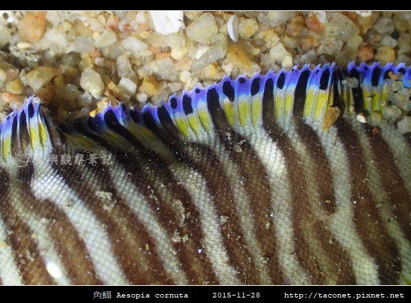 角鰨 Aesopia cornuta_3.jpg