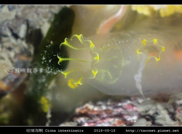 玻璃海鞘 Ciona intestinatis_2.jpg
