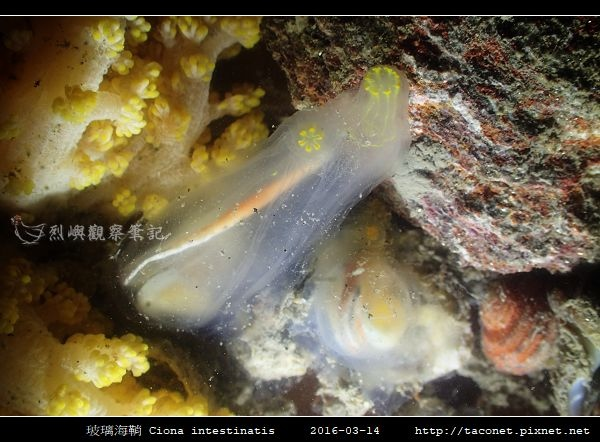 玻璃海鞘 Ciona intestinatis_3.jpg