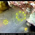 玻璃海鞘 Ciona intestinatis_4.jpg