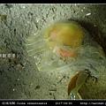 玻璃海鞘 Ciona intestinatis_5.jpg