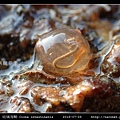 玻璃海鞘 Ciona intestinatis_7.jpg