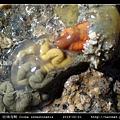 玻璃海鞘 Ciona intestinatis_8.jpg
