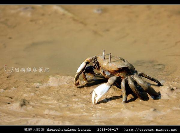 萬歲大眼蟹 Macrophthalmus banzai_2.jpg