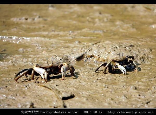 萬歲大眼蟹 Macrophthalmus banzai_1.jpg
