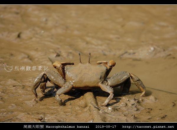 萬歲大眼蟹 Macrophthalmus banzai_5.jpg