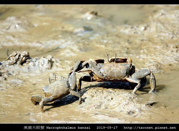 萬歲大眼蟹 Macrophthalmus banzai_3.jpg