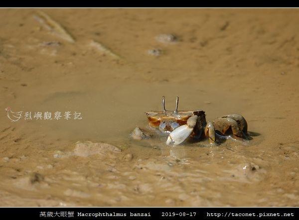 萬歲大眼蟹 Macrophthalmus banzai_7.jpg