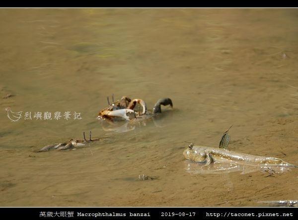 萬歲大眼蟹 Macrophthalmus banzai_6.jpg