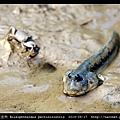 大彈塗魚 Boleophthalmus pectinirostris_01.jpg