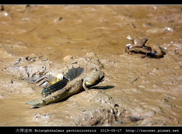 大彈塗魚 Boleophthalmus pectinirostris_04.jpg
