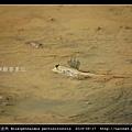 大彈塗魚 Boleophthalmus pectinirostris_05.jpg