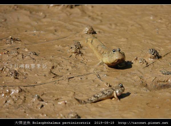 大彈塗魚 Boleophthalmus pectinirostris_08.jpg
