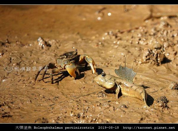 大彈塗魚 Boleophthalmus pectinirostris_07.jpg