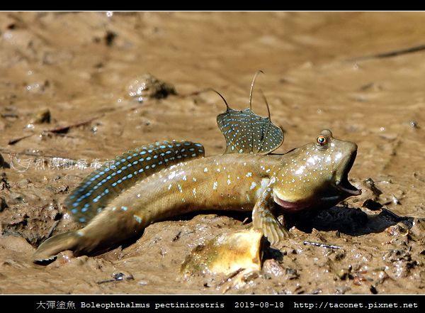 大彈塗魚 Boleophthalmus pectinirostris_10.jpg