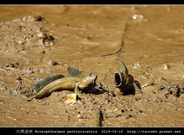 大彈塗魚 Boleophthalmus pectinirostris_11.jpg