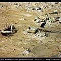 大彈塗魚 Boleophthalmus pectinirostris_13.jpg