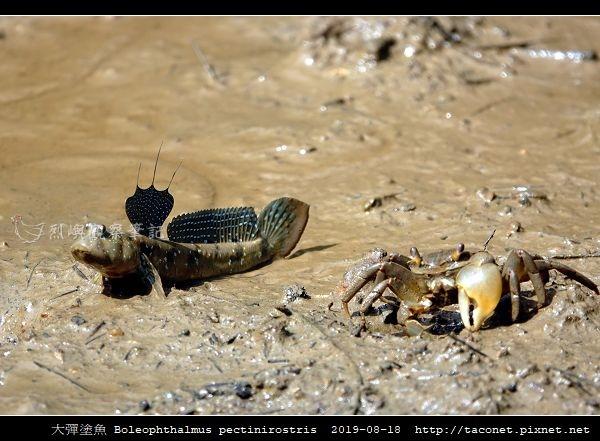 大彈塗魚 Boleophthalmus pectinirostris_12.jpg