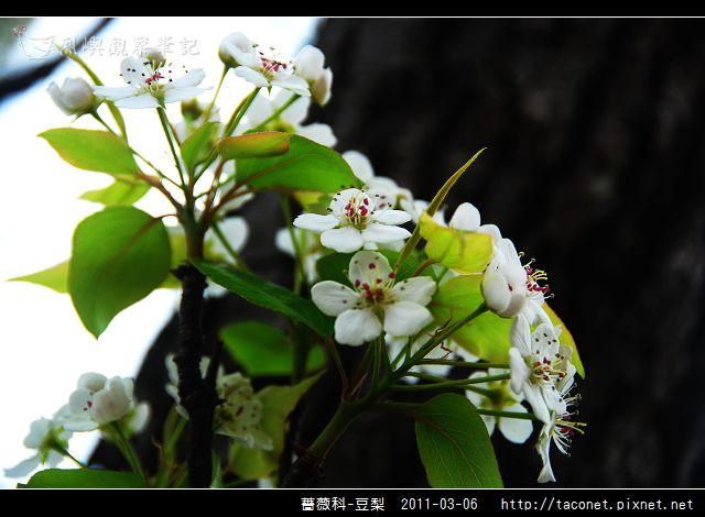 薔薇科-豆梨_01.jpg