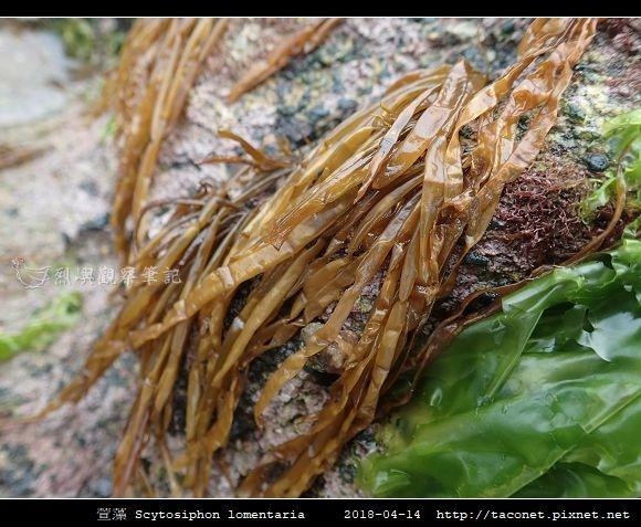萱藻 Scytosiphon lomentaria_02.jpg