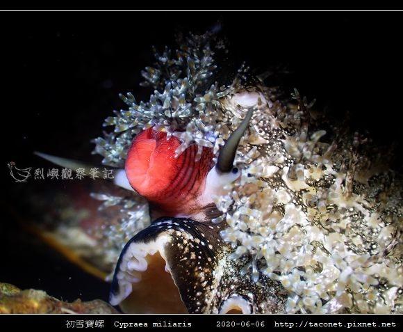初雪寶螺 Cypraea miliaris_6.jpg