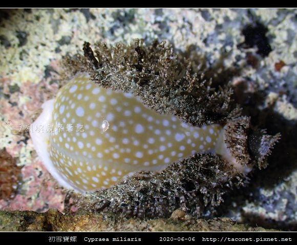 初雪寶螺 Cypraea miliaris_1.jpg