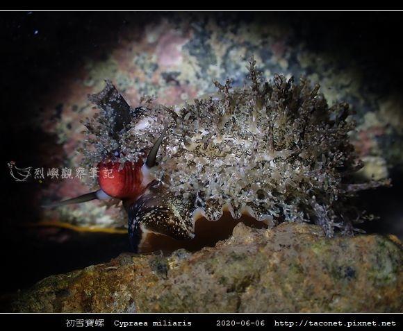初雪寶螺 Cypraea miliaris_5.jpg