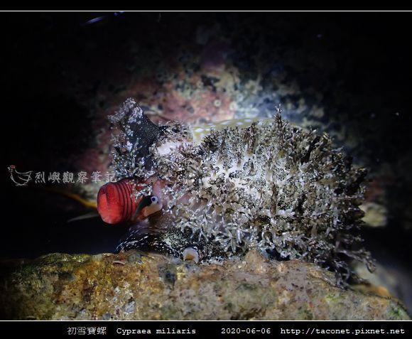 初雪寶螺 Cypraea miliaris_7.jpg