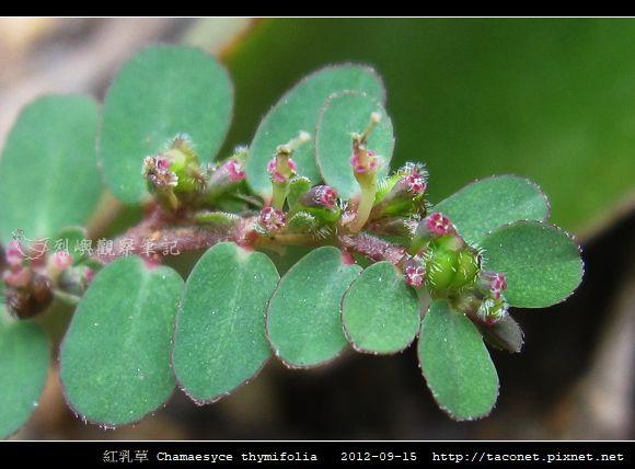 紅乳草 Chamaesyce thymifolia_3.jpg