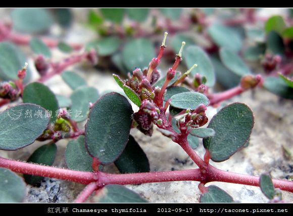 紅乳草 Chamaesyce thymifolia_6.jpg