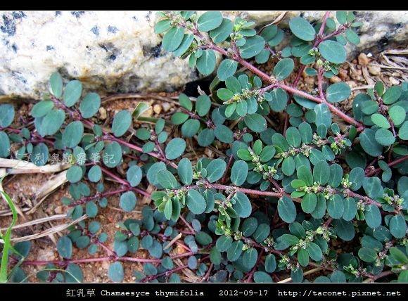 紅乳草 Chamaesyce thymifolia_4.jpg