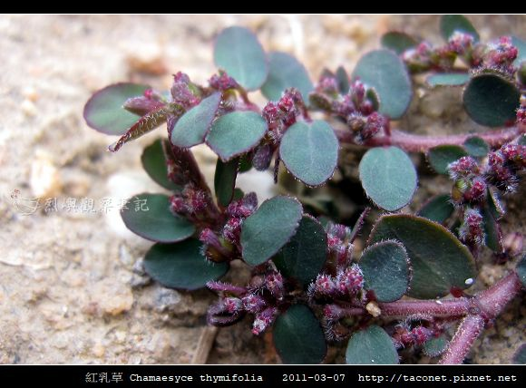 紅乳草 Chamaesyce thymifolia_2.jpg