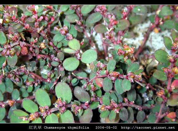 紅乳草 Chamaesyce thymifolia_1.jpg