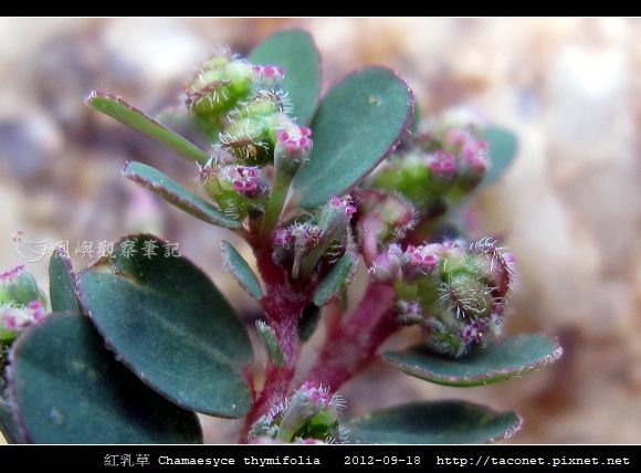 紅乳草 Chamaesyce thymifolia_8.jpg