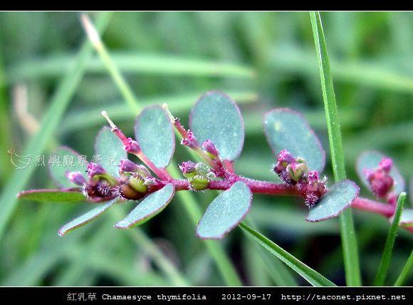 紅乳草 Chamaesyce thymifolia_7.jpg