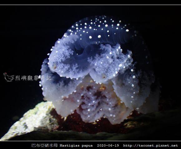 巴布亞硝水母 Mastigias papua_1.jpg
