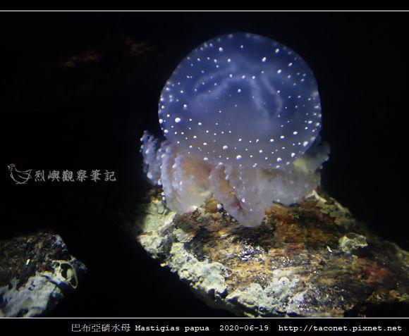 巴布亞硝水母 Mastigias papua_3.jpg