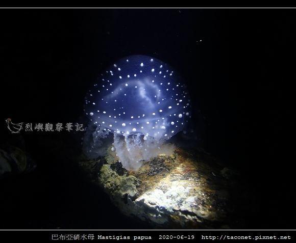 巴布亞硝水母 Mastigias papua_4.jpg