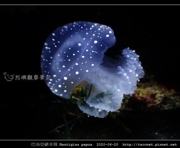 巴布亞硝水母 Mastigias papua_6.jpg