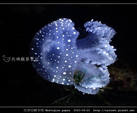 巴布亞硝水母 Mastigias papua_5.jpg