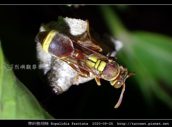 帶鈴腹胡蜂 Ropalidia fasciata_3.jpg