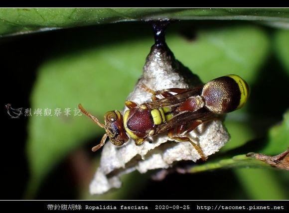 帶鈴腹胡蜂 Ropalidia fasciata_4.jpg