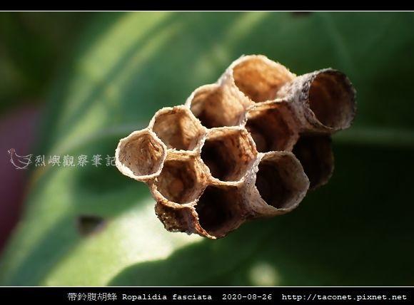 帶鈴腹胡蜂 Ropalidia fasciata_5.jpg